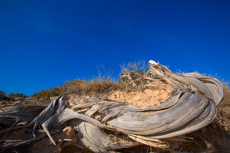 juniper tree: Mediterranean twisted dried juniper tree trunk in Formentera beach dune Stock Photo
