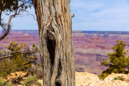 juniper tree: Arizona Grand Canyon Juniper tree trunk texture in USA Stock Photo