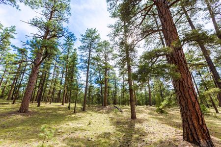 colorado mountains: Pine tree forest in Grand Canyon Arizona USA Stock Photo