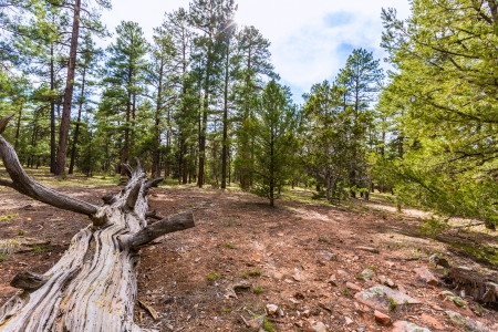grand canyon national park: Pine tree forest in Grand Canyon Arizona USA Stock Photo