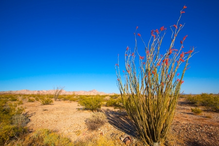 Ocotillo Fouquieria splendens red flowers in Mohave desert california USA photo
