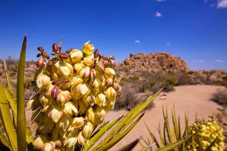 joshua tree: Yucca brevifolia flowers in Joshua Tree National Park California USA