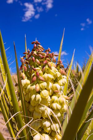 Yucca brevifolia flowers in Joshua Tree National Park California USA photo