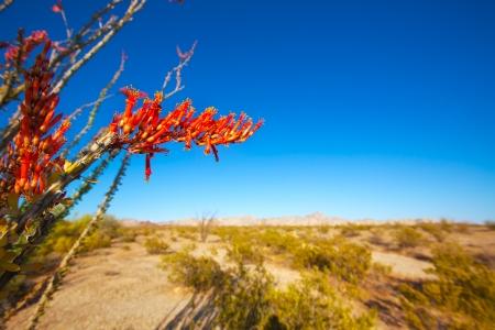 Ocotillo Fouquieria splendens red flowers in Mohave desert california USA photo