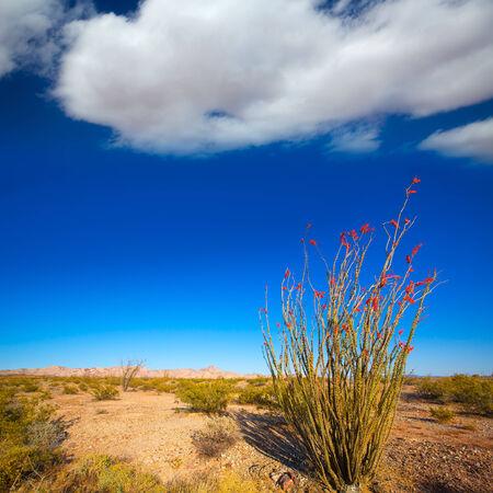 mohave: Ocotillo Fouquieria splendens red flowers in Mohave desert california USA