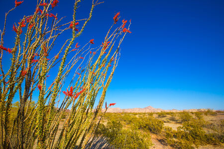 ocotillo: Ocotillo Fouquieria splendens red flowers in Mohave desert california USA
