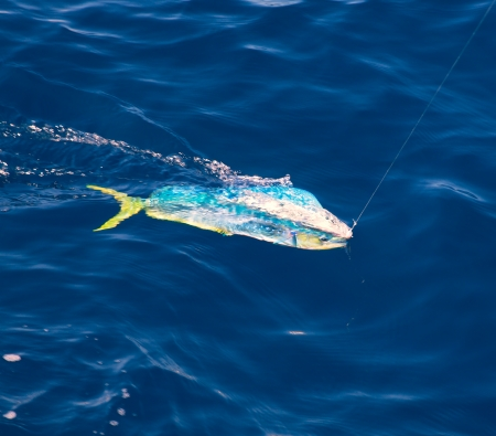 Dorado Mahi-Mahi fish hooked with fishing line in blue ocean sea photo