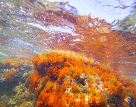 sea anemone: Mediterranean underwater seaweed algae in Denia Javea Alicante spain Stock Photo