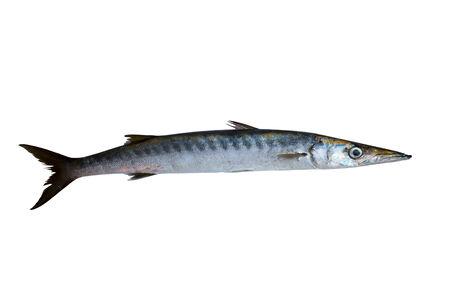 barracuda: Barracuda fish Sphyraena isolated on white