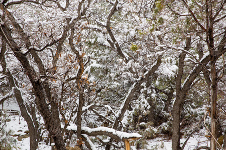 Nevada USA spring first snow in the mountain trees Stock Photo - 24583847
