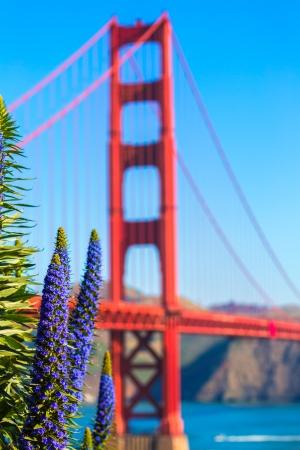echium: Golden Gate Bridge San Francisco purple flowers Echium candicans in California Stock Photo