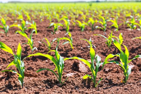 maize cultivation: Corn fields sprouts in rows in California agriculture plantation USA