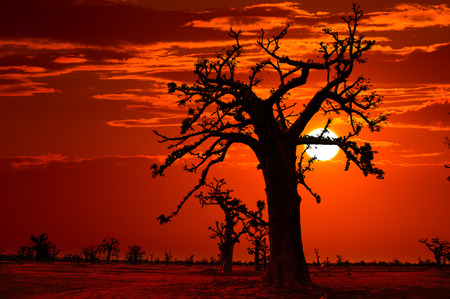 Africa sunset in Baobab trees colorful sky photo