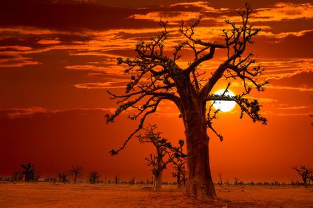 africa sunset: Africa tramonto alberi baobab cielo colorato