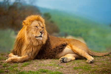 Lion male having a rest lying on the mountain top photo