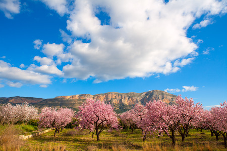 Mongo in Denia Javea in spring with almond tree flowers Alicante Spain Stock Photo