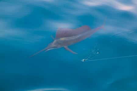 sportfishing: Sailfish sportfishing close to the boat with fishing line under surface