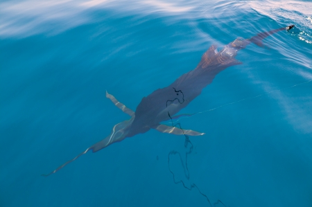 tourney: Sailfish sportfishing close to the boat with fishing line under surface