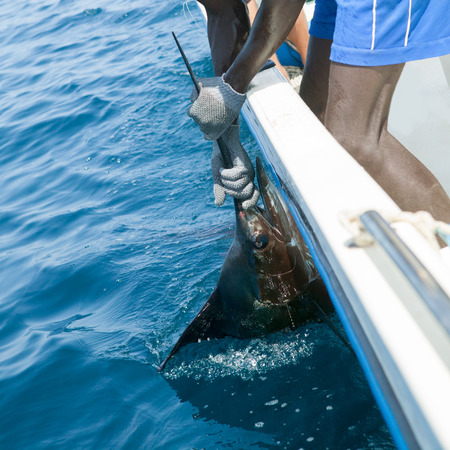 tourney: Sailfish catch billfish sportfishing holding bill with hands and gloves Stock Photo