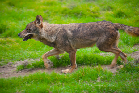 canid: Wolf from spain running motion blur on green grass