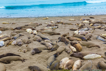 California Elephant Seals in Piedras Blancas point in South Big Sur inn Pacific Highway 1 photo