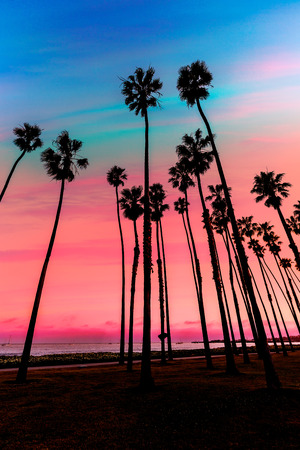 palm trees silhouette: California sunset Palm tree rows in Santa Barbara US