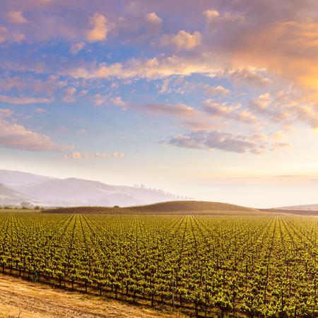 america countryside: California vines vineyard field at sunset in US