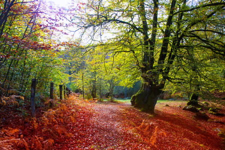 navarra: Autumn Selva de Irati fall beech jungle in Navarra Pyrenees of Spain