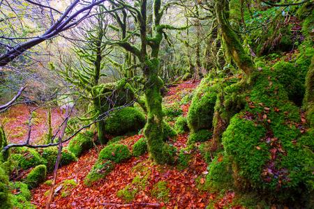 Autumn Selva de Irati fall beech jungle in Navarra Pyrenees of Spain photo