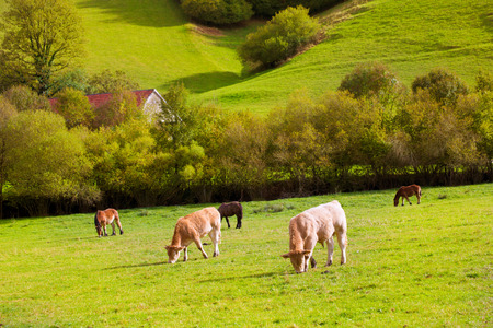 Cows grazing in Pyrenees green autumn meadows at Navarra Spain photo