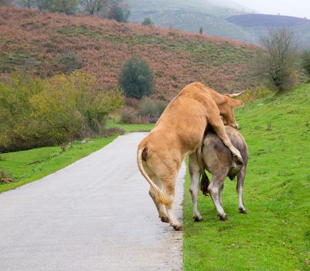 lovemaking: Cows in love pretending intercourse in Pyrenees road meadow