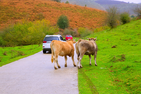 Cows couple in a Pyrenees road of Irati jungle at Navarra Spain photo