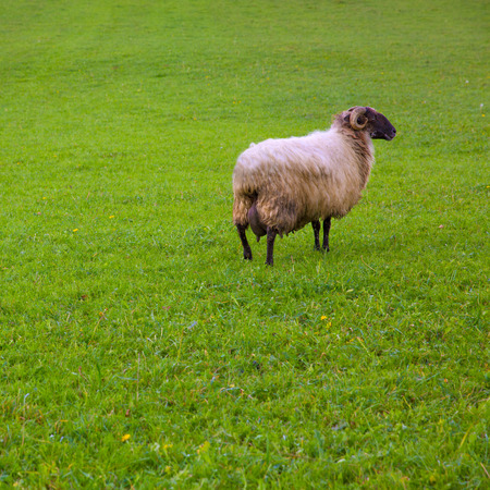 Latxa sheep in Pyrenees of Navarra grazing in meadow at Spain photo