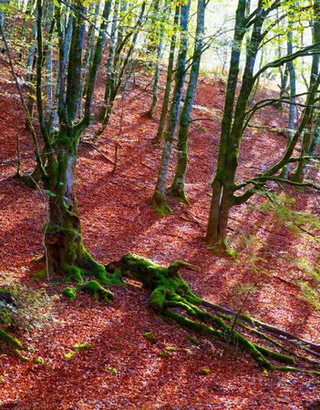 selva: Autumn Selva de Irati fall beech jungle in Navarra Pyrenees of Spain