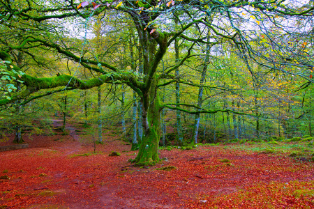 セルバ ・ デ ・ Irati は秋秋のスペインのナバラ ピレネー山脈のブナ ジャングル