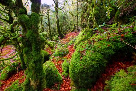 Automne Irati automne hêtre jungle en Navarre Pyrénées de l'Espagne
