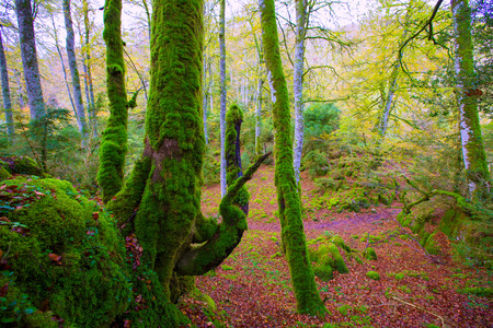 selva: Autumn Selva de Irati fall beech jungle in Navarra Pyrenees of Spain