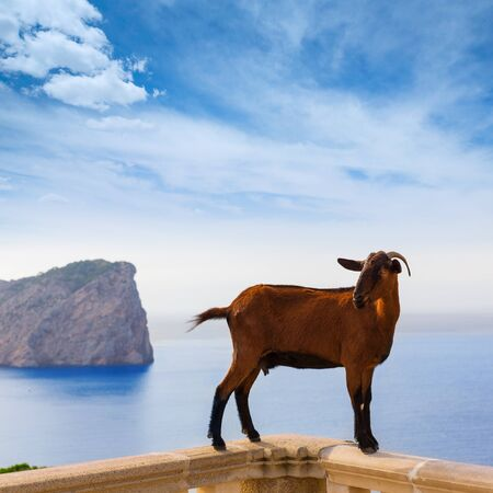 majorca: Majorca goat in Formentor Cape Lighthouse at Mallorca Stock Photo