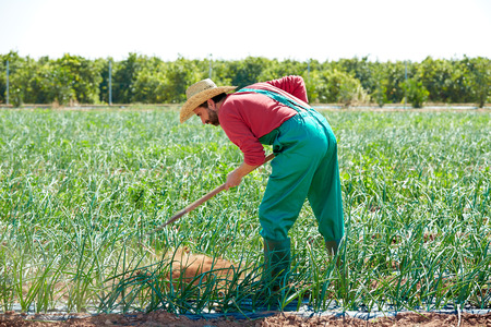 Farmer man working in onion orchard field with hoe tool Imagens