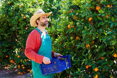 Farmer man harvesting oranges in an orange tree field photo