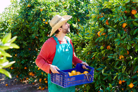 yield: Farmer man harvesting oranges in an orange tree field Stock Photo