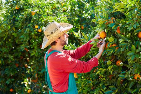 Farmer man harvesting oranges in an orange tree field Foto de archivo