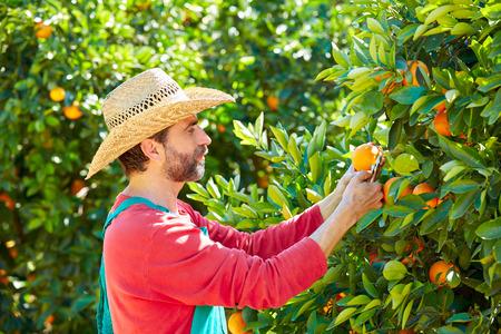 tangerine tree: Farmer man harvesting oranges in an orange tree field Stock Photo