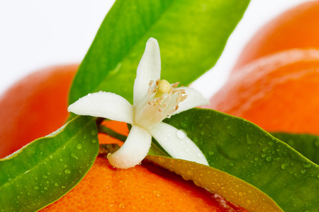 Oranges with orange blossom flowers in spring on white background Standard-Bild