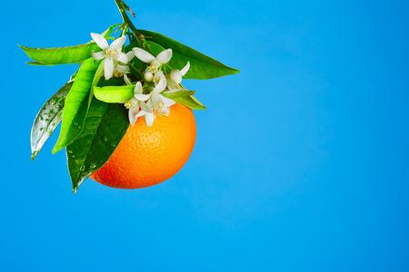 naranja arbol: Naranjas con flores de azahar en primavera sobre fondo azul Foto de archivo