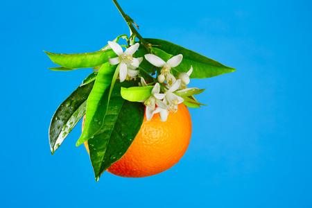 Arance con fiori fiori d'arancio in primavera su sfondo blu