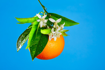 valencia orange: Oranges with orange blossom flowers in spring on blue background Stock Photo