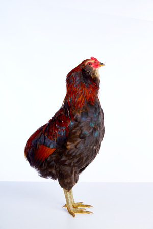 gallo: Casta masculina del egger Gallo Araucana Pascua en el fondo blanco