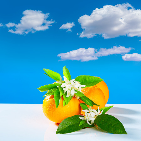 orange blossom: Oranges with orange blossom flowers in spring on blue sky