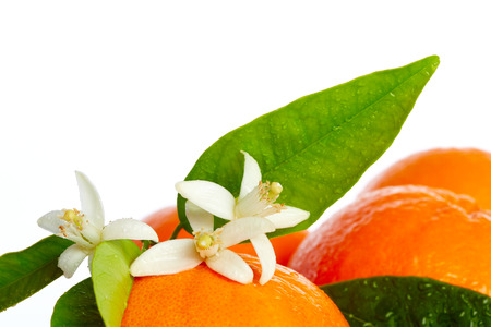 tangerine tree: Oranges with orange blossom flowers in spring on white background Stock Photo